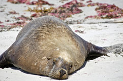 Fat sealion. The fat sealion is resting on the beach at Seal Bay Royalty Free Stock Photo