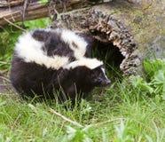 Fat striped skunk in woods