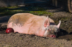 Fat sleepy pig in the mud. Happy pig sleeping in the mud on a farm Royalty Free Stock Photos