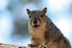 A fat smiling squirrel Stock Image