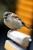Fat sparrow. A fat sparrow sits on a garden chair Stock Photography