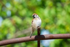 Fat Sparrow on metall pipe. Fat Sparrow on metal pipe. Wildlife in village royalty free stock photos