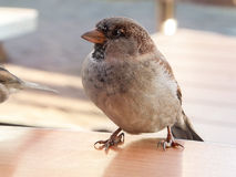 Fat sparrow sitting on a table in a fast food. Sparrow sitting on the table Royalty Free Stock Image