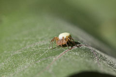 Fat spider Royalty Free Stock Image