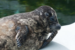 Fat spotted seal. Fat seal posing with fin in mouth Royalty Free Stock Photos