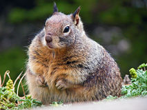 Fat squirrel Stock Image