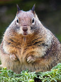 Fat squirrel. A lovely overfeed fat squirrel sits in green royalty free stock photography
