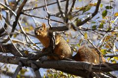 Fat Squirrel Stock Photo