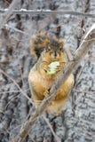 Fat Squirrel Stock Photos
