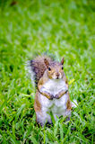 Fat Squirrel Royalty Free Stock Images