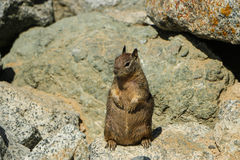 Fat squirrel. Sitting on a rock waiting for treats Royalty Free Stock Images