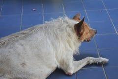 A fat stray dog lie down on the floor. Feel asleep stock photos
