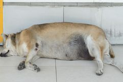 A fat stray dog sleeping on the ground. Before a convenient store stock image