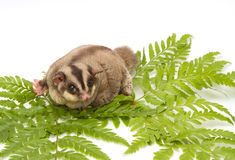 Fat sugar-glider Stock Photography