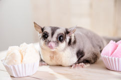 Fat sugar glider eating muffin cup cake or cotton-wool cake, dessert Thailand. Stock Photo