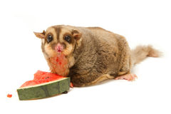 Fat sugar-glider eatting melon Royalty Free Stock Photography