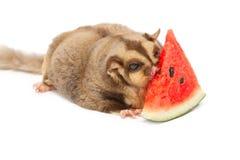 Fat sugar-glider eatting melon Stock Photo