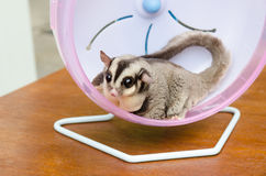Fat sugar glider exercise on wheel outdoor. Royalty Free Stock Photo