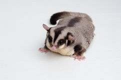 Fat sugar glider on white background Royalty Free Stock Photo