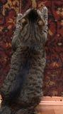 Fat tabby cat Royalty Free Stock Photography