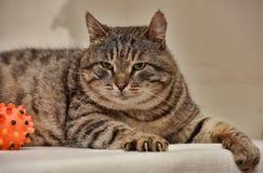 Fat tabby cat Stock Photo