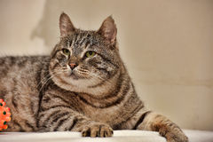 Fat tabby cat Stock Photo