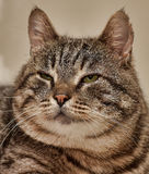 Fat tabby cat Stock Photography