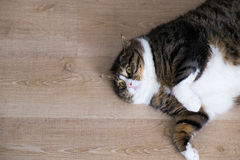 Fat Tabby Cat 8. Overhead look of a fat tabby cat with white furs lying at the wood ground royalty free stock photography