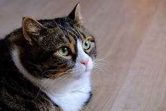 Fat Tabby Cat 6 Royalty Free Stock Photography