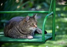 Fat tabby cat in a swing staring at something. Fat tabby cat in a green metal and wooden swing. The cat is very concentrated, focusing her big eyes on something stock photo