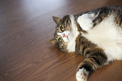 Fat Tabby Cat Stock Photos