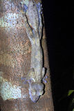 Fat-tail Gecko Uroplatus fimbriatus, Nosy Mangabe, Madagascar Royalty Free Stock Photo