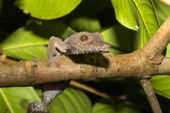 Fat-tail Gecko Uroplatus fimbriatus, Nosy Mangabe, Madagascar Royalty Free Stock Image