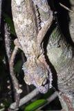 Fat-tail Gecko Uroplatus fimbriatus, Nosy Mangabe, Madagascar Stock Photography