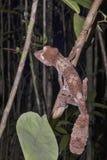 Fat-tail Gecko Uroplatus fimbriatus, Nosy Mangabe, Madagascar Royalty Free Stock Photography