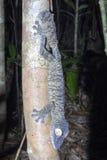 Fat-tail Gecko Uroplatus fimbriatus, Nosy Mangabe, Madagascar Stock Photo