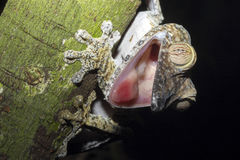 Fat-tail Gecko Uroplatus fimbriatus, Nosy Mangabe, Madagascar Stock Image