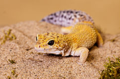 Fat tailed Gecko. Large fat tailed gecko with yellow markings walking in sand royalty free stock photography