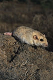 Fat-tailed gerbil. The fat-tailed gerbil, Pachyuromys duprasi, is a small nocturnal gerbil species that lives in the northern Africa desert. Because of it's Royalty Free Stock Images