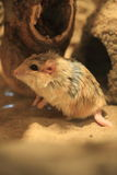 Fat-tailed gerbil Royalty Free Stock Images