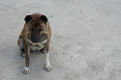 Fat Thai local dog Stock Photos