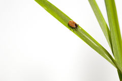 Fat tick on a green sheet. Royalty Free Stock Images