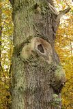 Fat trunk Stock Images
