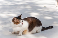 Fat two tone cat is crouching. And looking at something Stock Images