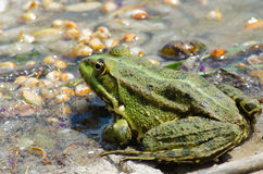 Fat warted toad. On the bank of the river Stock Images