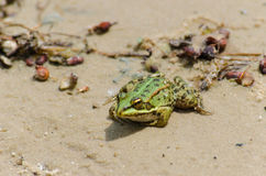 Fat warted toad. On the bank of the river Royalty Free Stock Image