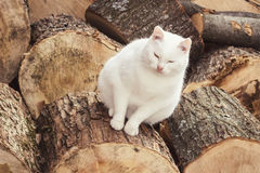 Fat white cat sitting on woods Royalty Free Stock Images