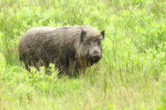 Fat wild boar Stock Images