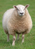 Fat woolly sheep. Standing in green field stock image