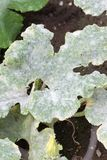 Fatal fungus on plants called powdery mildew. In summer on farm stock image